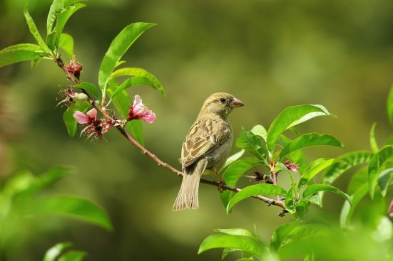 A sparrow on a very green tree with pink flowers. Photo by daniyal ghanavati from Pexels